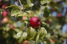 Feuerroter Apfel