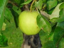 Grüner Apfel mit Blätter