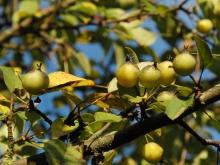 Kleine Wildäpfel