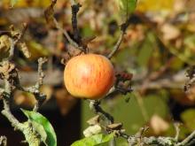 Orangeroter Apfel
