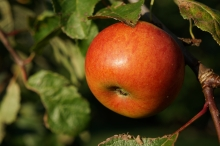 Reifer Apfel im September