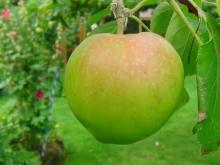 Schöner Apfel