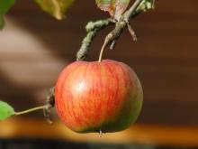 Verlockender Apfel