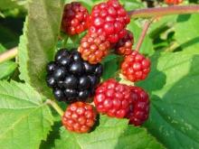 Garten-Brombeeren rot-schwarz
