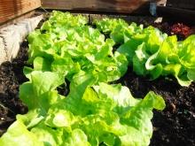 Blattsalat im Beet