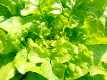 Blick in den Blattsalat