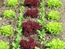Salatbeet im Schrebergarten