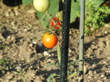 Tomate noch orange