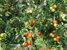 Tomaten im Schrebergarten