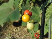 Tomaten rot gelb grün