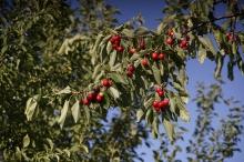Viele Kirschen am Zweig