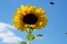 Bienen auf dem Weg zur Sonnenblume