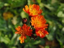Flowerpower im Herbst (Orangerotes Habichtskraut)