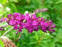 Sommerflieder lila