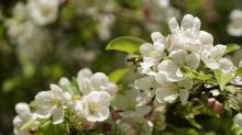 Pollenparadies Apfelblüten