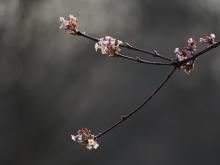 Zweig mit Bodnant-Schneeball Blüten
