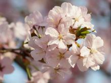 Kirschblütengruppe rosa
