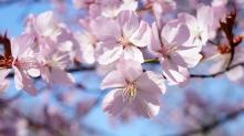 Kirschblütenpower