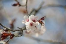 Kirschblütentrio
