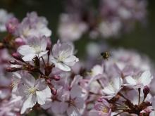 Nektarbar Kirschblüten