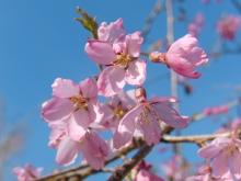 Rosa Kirschblüten 9
