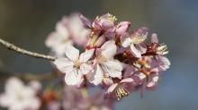 Rosa Kirschblütengruppe
