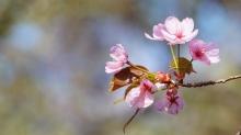 Rosa Kirschblütten am Zweig