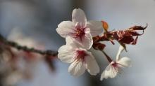 Zarte Kirschblüten