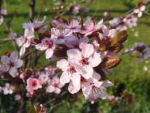 Zierkirschenblüten mit grünen Hintergrund
