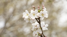 Zweig mit weißen Kirschblüten
