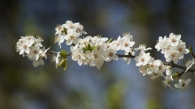 Zweig voll weiser Kirschblüten