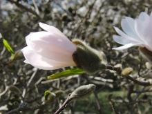 Weiße Magnolie am Aufblühen