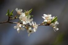Kleiner zweig mit weißen Blüten im März