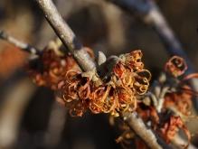 Orange Zaubernussblüten