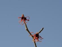 Zarte Zaubernuss Blüten vor blauen Himmel