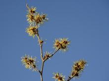 Zweig mit gelben Zaubernuss Blüten