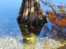 Sumpfzypressen-Stamm im Herbst
