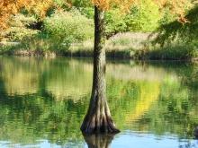 Sumpfzypressenstamm im Herbstsee