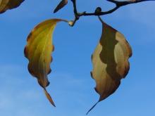 Herbstblattduett