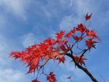Rotes Ahornlaub vor blauen Himmel 2