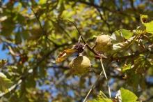 Kastanien im Herbstlicht