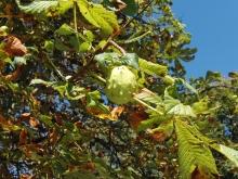Kastanienfrucht geschlossen 2