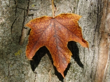 Ahornblatt am Stamm rotbraun