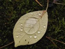 Beiges Herbstblatt mit Wassertropfen-1