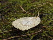 Beiges Herbstblatt mit Wassertropfen-2