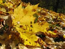 Gelbgoldenes Ahornblatt am Boden