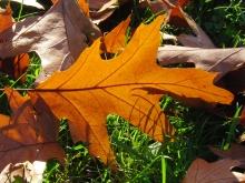 Gold-braunes Herbstblatt