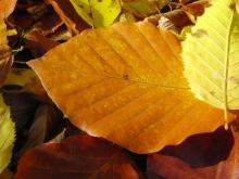 Gold-gelbes Buchenblatt am Boden