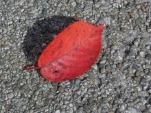 Herbstblatt rot auf Steinboden