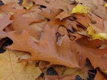 Herbstlaub braun am Boden